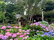 白山神社に咲き誇る紫陽花